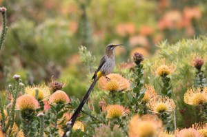 cape sugarbird on pincushion