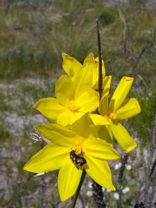 bobartia with bug