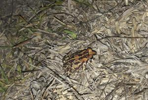leopard toad