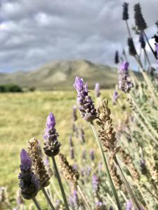 wolfhuis from cot 2 lavender